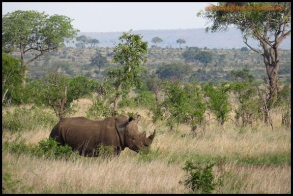 Rinoceronte en su hábitat (6-11-2013)