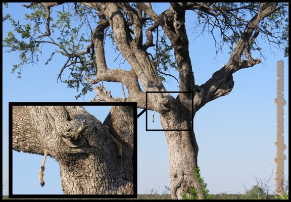 Pata de impala colgando (5-11-2013)