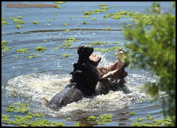 Pelea de hipopótamos (5-11-2013)