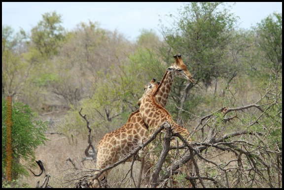 Pelea de jirafas (3-11-2013)