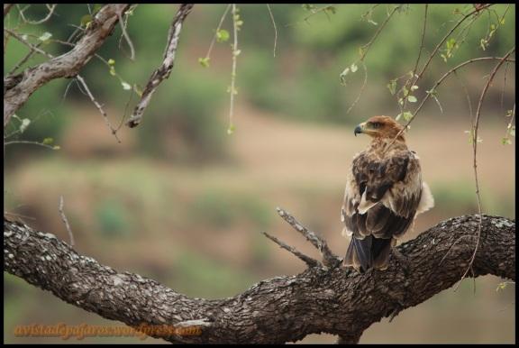 Águila rapaz (2-11-2013)