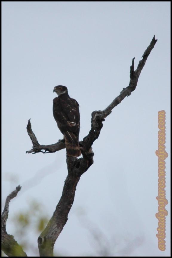 Águila azor africana (2-11-2013)