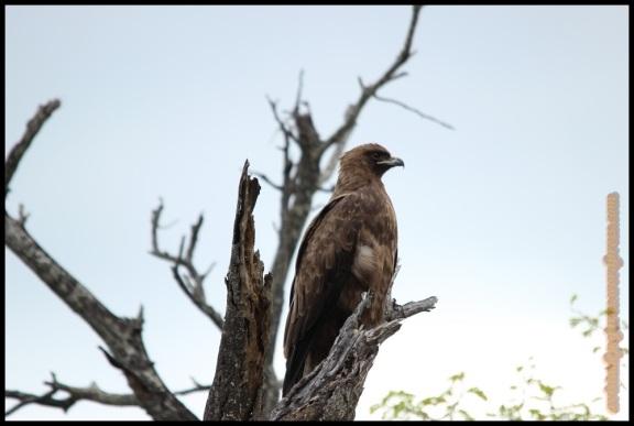 Águila rapaz (3-11-2013)
