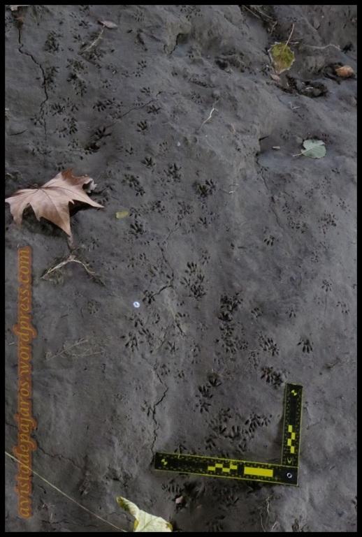 Gran cantidad de huellas y rastros de roedor (26-11-2013)