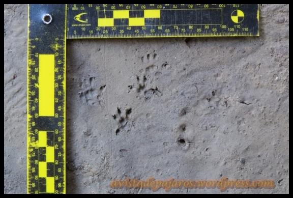 Huellas pequeñas de roedor (26-11-2013)