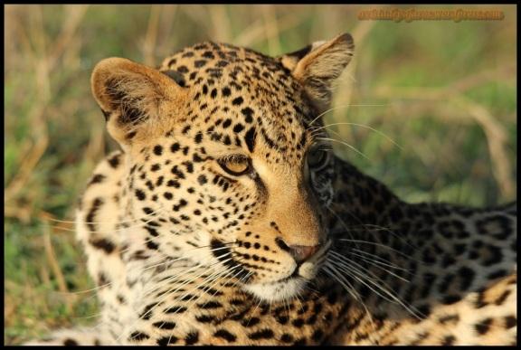 Retrato de leopardo (6-11-2013)