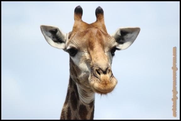 Retrato de una de las jirafas (3-11-2013)