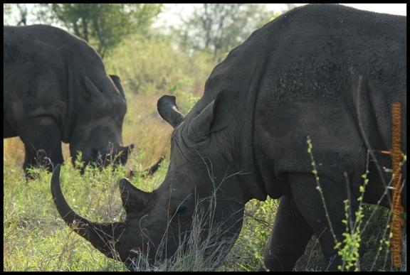 Rinoceronte pastando (6-11-2013)