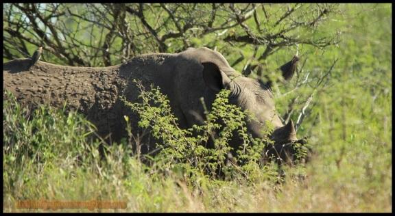 Rinoceronte blanco con un picabueyes en el lomo (5-11-2013)