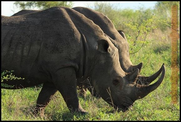 Ronocerontes blancos (6-11-2013)