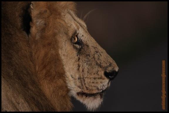 Rostro de un león macho (5-11-2013)