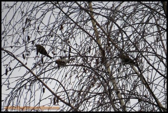 Los tres sizerines (29-12-2013)