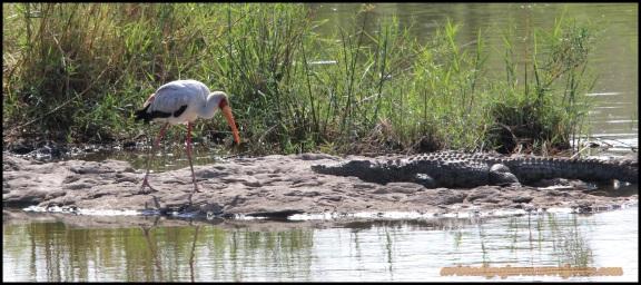 Tántalo africano al lado de un cocodrilo (4-11-2013)