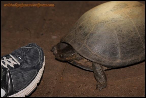 Tortuga (4-11-2013)