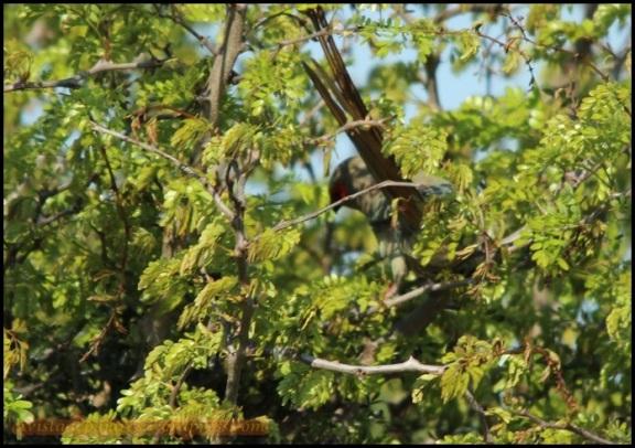 Turaco entre las hojas del árbol (5-11-2013)