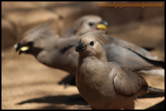 Turacos (4-11-2013)