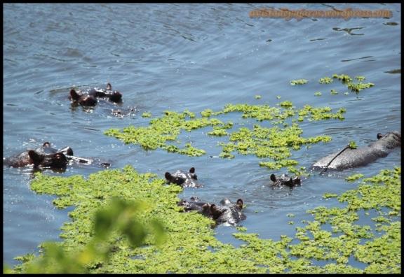 Varios hipopótamos bajo el agua (5-11-2013)