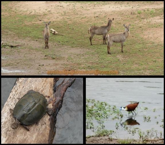 Cobos, tortugas y jacana africana (2-11-2013)