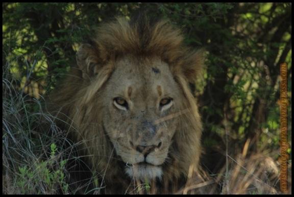 León tumbado a la sombra (7-11-2013)
