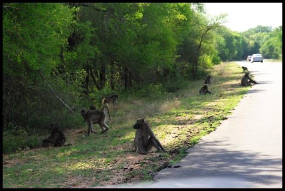 Familia de babuinos; Koldo Azedo (7-11-2013)