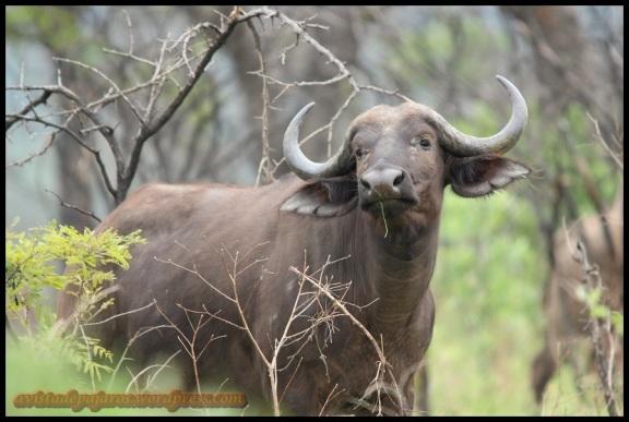 Uno de los búfalos (8-11-2013)