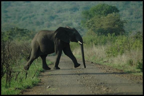 Elefante cruzando la carretera; Koldo Azedo (7-11-2013)