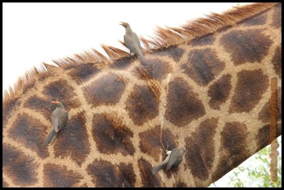Picabueyes posados en jirafa (7-11-2013)