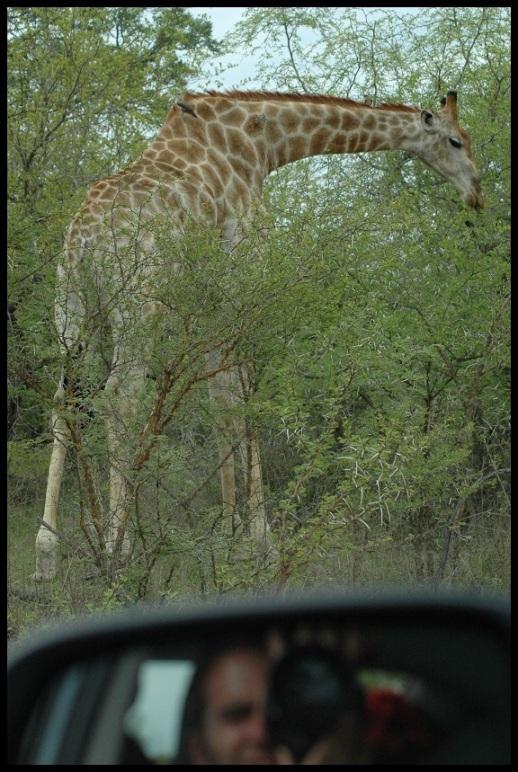 Fotografiando una jirafa; Koldo Azedo (7-11-2013)