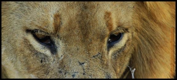 Mirada de uno de los leones (7-11-2013)