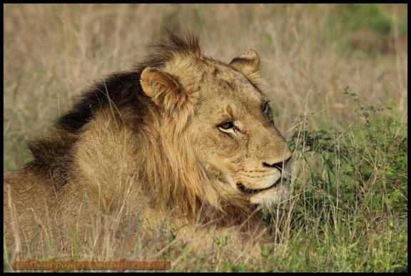 León tumbado al sol (7-11-2013)