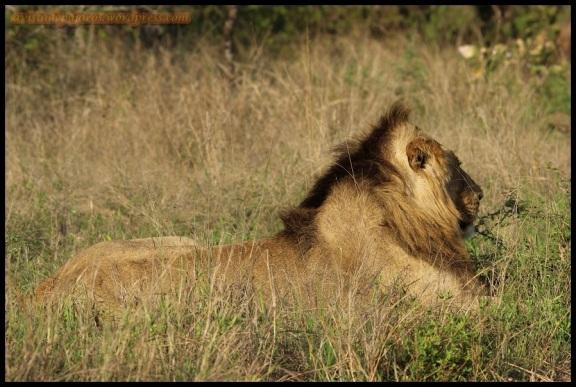 León tumbado (7-11-2013)