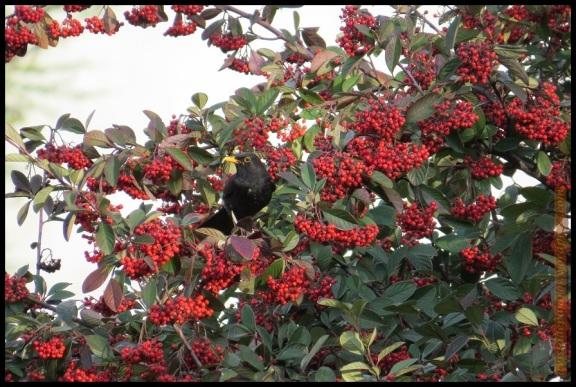 Macho de mirlo en arbusto con frutos (31-12-2013)