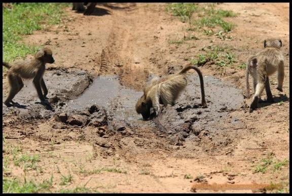 Mono verde bebiendo (6-11-2013)
