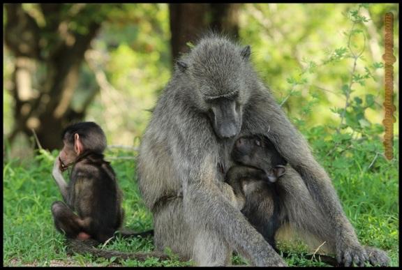 Mama babuina con cria (7-11-2013)