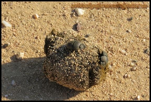 Escarabajos peloteros (7-11-2013)