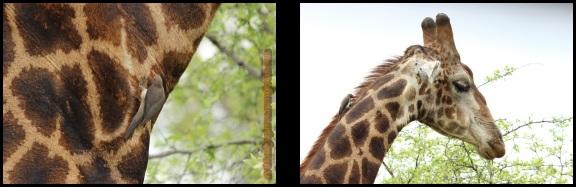Picabueyes en la jirafa (7-11-2013)