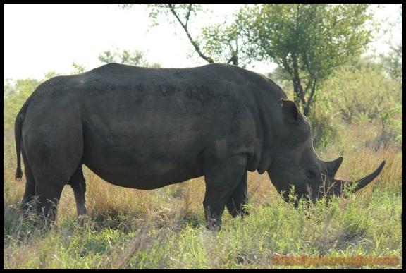 Rinoceronte con ganas de manbo (6-11-2013)