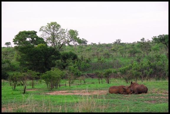 Pareja de rinocerontes tumbados; María Martínez (7-11-2013)