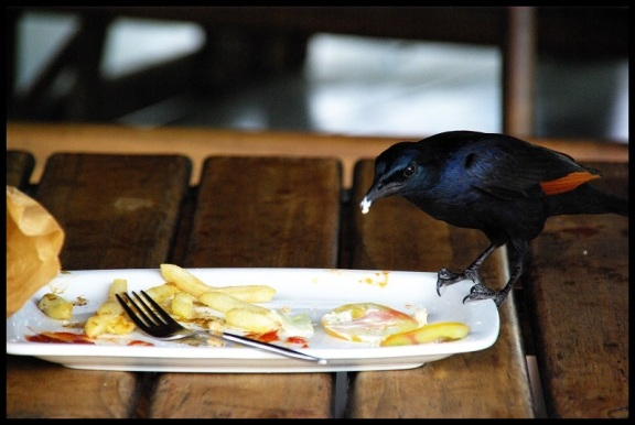Estornino alirrojo comiendo; María Martínez (9-11-2013)