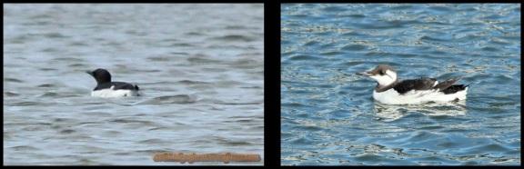 Araos, con plumaje nupcial a la izquierda y plumaje invernal el de la derecha (2-2-2104)