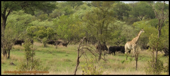 Búfalos y jirafas alegraban nuestro camino (9-11-2013)