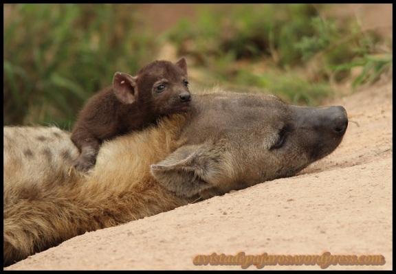 Hiena con su pequeño encima (8-11-2013)