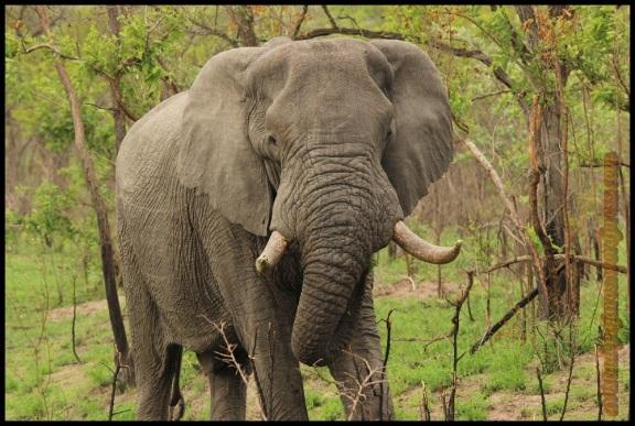 Elefante de frente (8-11-2013)