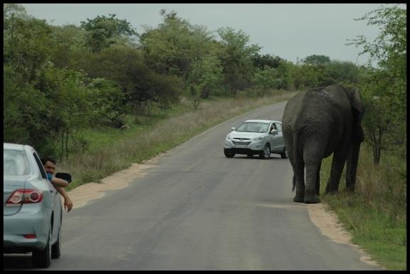 Elefante muy cerca de los coches; Koldo Azedo (8-11-2013)