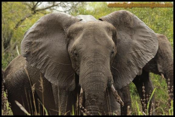 Elefante en primer plano (9-11-2013)