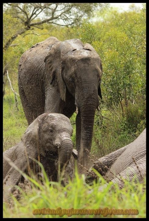 Elefantes en el barro (9-11-2013)