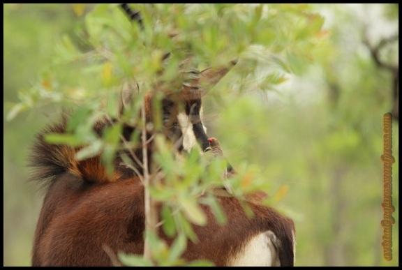 Sable con picabueyes entre ramas (8-11-2013)