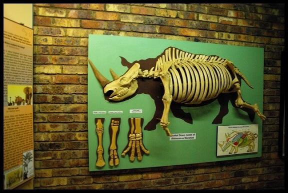 Esqueleto de rinoceronte; María Martínez (9-11-2013)