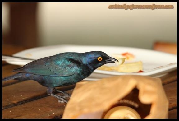Estornino comiendo (9-11-2013)