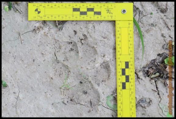 Huella de hiena (9-11-2013)